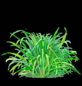lemongrass_f2_1